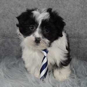 havanese puppies for sale in NY