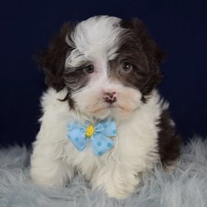 havanese puppies for sale in DE