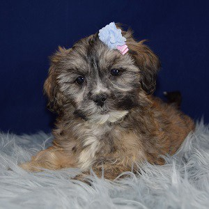 Shihpoo puppies for sale in RI