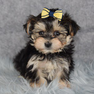 morkie puppy adoptions in NY
