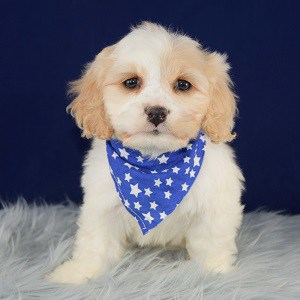 Cavachon puppies for Sale in PA