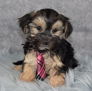 Morkie puppies for sale in RI