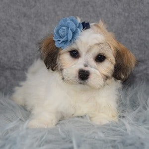 Shichon puppies for sale in PA