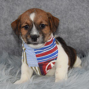 Jack Tzu puppies for Sale in NY