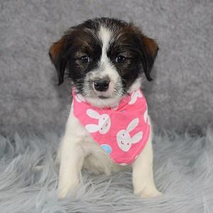 Jack Tzu puppies for Sale in VA