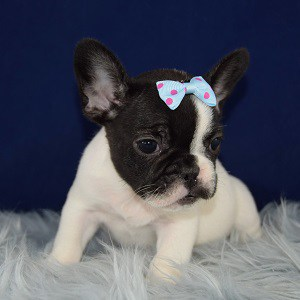 french bulldog puppies for sale in DE