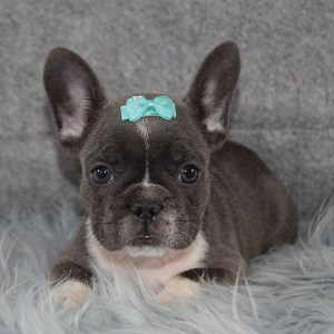 french bulldog puppies for sale in NJ