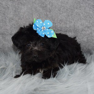 yorkichon puppies for sale in WV