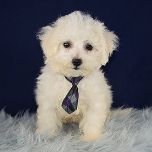Bichon puppies for sale in NY