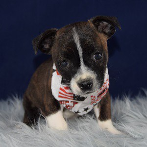 bojack puppies for sale in NJ