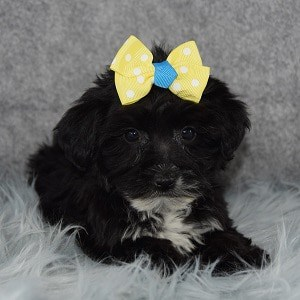 yorkichon puppies for sale in PA