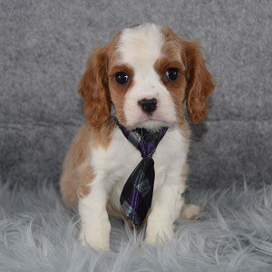 Cavalier puppies for Sale in RI