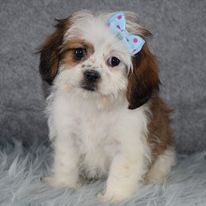 cava tzu puppies sale in PA