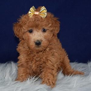 Cockapoo puppies for Sale in VA