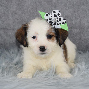 Jack Tzu puppies for Sale in VA