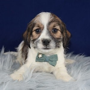 Jack Tzu puppies for Sale in PA