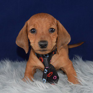 dachshund puppies for sale in NY