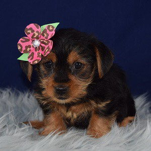 Yorkishire terrier puppies for sale in NJ