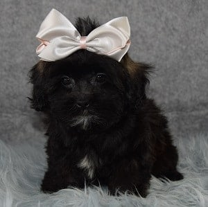 Shihpoo puppies for sale in wv