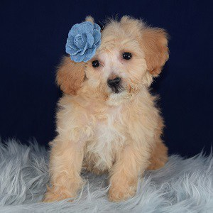 Bichonpoo puppies for sale in MA