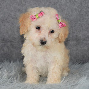 Bichonpoo puppies for sale in RI