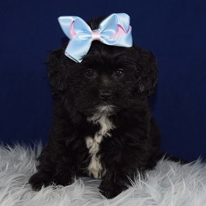 Shihpoo puppies for sale in NJ