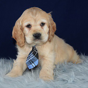 cocker puppies for sale in NY