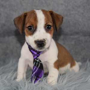 jack russell puppies for sale in NJ