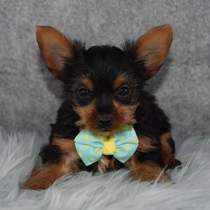 Yorkie puppies for sale in VA