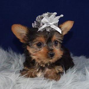 Yorkie puppies for sale in VA