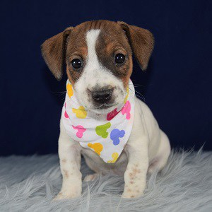 jack russell puppies for sale in CT