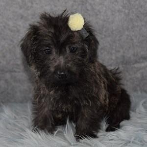 Westiepoo puppies for sale in NJ