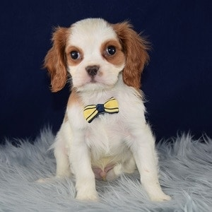 Cavalier puppies for Sale in DE