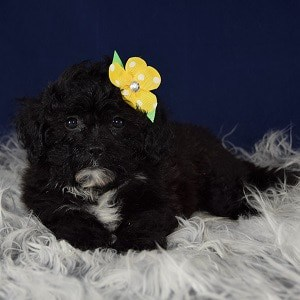 yorkichon puppies for sale in VA