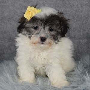 Shichon puppies for sale in DC