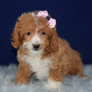 Cocker mix puppies for sale in MD