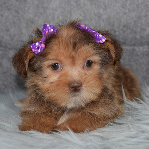 Shorkie puppies for sale in NY
