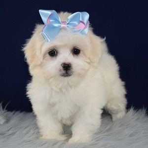 Shichon puppies for sale in RI