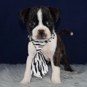 boston mixed puppies for sale in VA