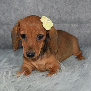 dachshund puppies for sale in RI
