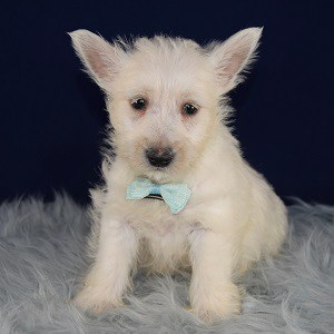 Westie Puppies for sale in NY