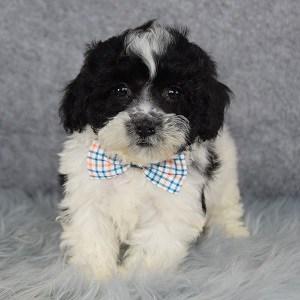 Shichon puppies for sale in RI