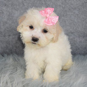 Shichon puppies for sale in VT
