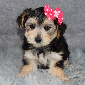 morkie puppy adoptions in NJ