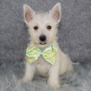Westie puppy adoptions in NJ
