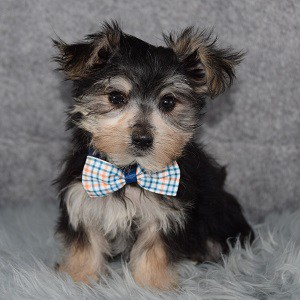 Morkie puppies for sale in MD