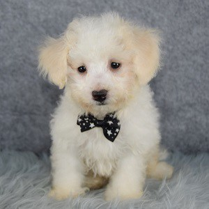 Bichonpoo Puppies for Sale in PA | Bichonpoo Adoptions
