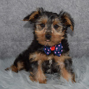 Yorkie puppies for sale in OH