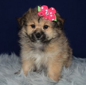 Pomeranian mix puppies for sale in DE