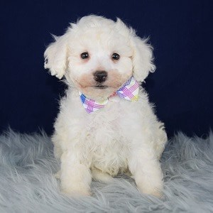 Bichon puppies for sale in Washington DC